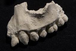 Descubren nuevo ancestro de los humanos - El Universal   La Evolución Humana   Scoop.it