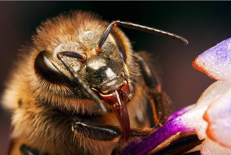 Il n'y a pas que le dard de l'abeille qui est empoisonné, ses mandibules aussi | Abeilles, intoxications et informations | Scoop.it