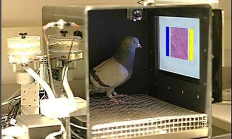 Study finds pigeons uncommonly good at distinguishing cancerous from normal breast tissue | animals and prosocial capacities | Scoop.it