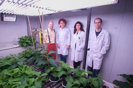 Genetically modified tobacco plants as an alternative for producing bioethanol - U Navarra (2014) | Ag Biotech News | Scoop.it