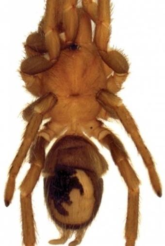 Tres nuevas especies de tarántula descubiertas en Argentina | Era del conocimiento | Scoop.it