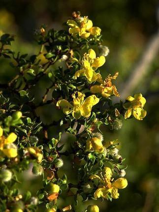 Southwest Wildlife: Creosote | Desert Exposure | CALS in the News | Scoop.it