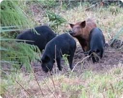 Human rights organization: Settlers release wild boars to attack Palestinians | Occupied Palestine | Scoop.it