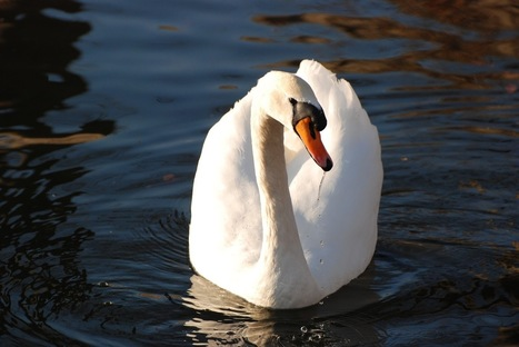 Windsurfing Mute Swans! | Atheism and Science | Scoop.it
