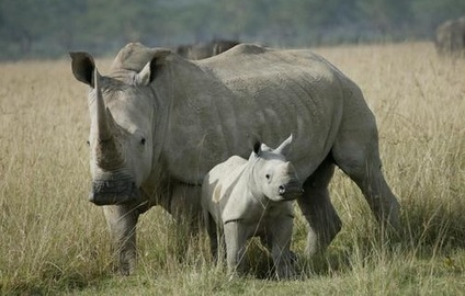 White Rhino Poached in Kruger Park | GarryRogers NatCon News | Scoop.it