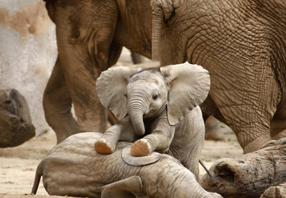 Elephants are not Diamonds | Wildlife Trafficking: Who Does it? Allows it? | Scoop.it