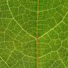 Effectors and Plant Immunity