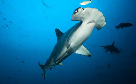 Costa Rica Is Not Doing Enough to Protect Diminished Shark Populations | KNOWING............. | Scoop.it