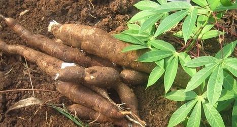 Comores - L'actualité avec HabarizaComores.com : Le manioc : concentré de saveur et de nutriments   Végétarisme, santé et vie   Scoop.it