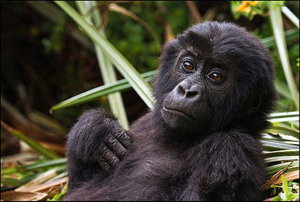 Collapse of Gorilla Subspecies - Conservation Articles & Blogs - CJ | Wildlife and Conservation | Scoop.it