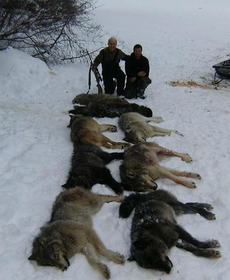 Mass Wolf killings are based on the most cynical of premises | Biodiversity IS Life -- Conservation,Ecosystems,Wildlife,Rivers,Water,Forests | Scoop.it
