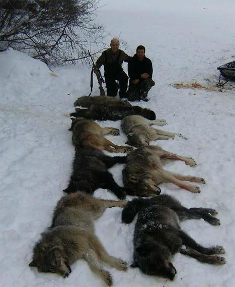 Mass Wolf killings are based on the most cynical of premises | Biodiversity IS Life  – #Conservation #Ecosystems #Wildlife #Rivers #Forests #Environment | Scoop.it