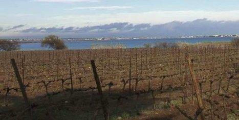 Viticulture : les atouts des vieux cépages face au réchauffement climatique - France 3 Languedoc-Roussillon | Vins Sud de France | Scoop.it