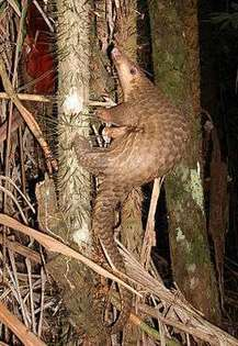 How the pangolin got its scales – a genetic just-so story | Endangered Species News | Scoop.it