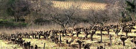 L'agroforesterie appliquée à la viticulture, ça marche ! | Chimie verte et agroécologie | Scoop.it