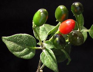 CHILE PIQUIN   ECOLOGIA Y SALUD: Plantas aromáticas y medicinales.   Scoop.it