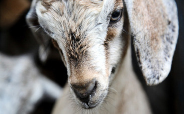 Success! Millions of Animals Saved From Religious Slaughter | Global politics | Scoop.it