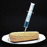 Maíz transgénico no es deseado por un grupo de científicos en Mexico | Stop Monsanto | Scoop.it