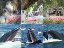 Strongest Evidence of Animal Culture Seen in Monkeys and Whales | Animals R Us | Scoop.it