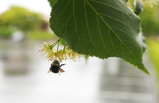 25,000 bumblebees killed, dropping from trees in Wilsonville; pesticide suspected | Food issues | Scoop.it