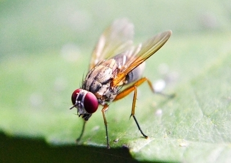 Fruit Flies Could Sniff Out Bombs, Drugs | Biomimicry | Scoop.it