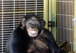 Revisit the horror of Travis, the bloodthirsty chimpanzee | Why people should not be allowed to own exotic animals | Scoop.it