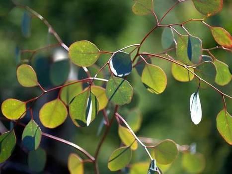 Brazil to decide on whether to approve world's first GM eucalyptus trees | Australian Plants on the Web | Scoop.it
