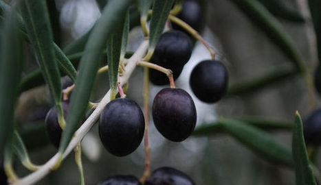 L'olive noire de Nyons, une perle née dans la pierre | oléiculture | Scoop.it