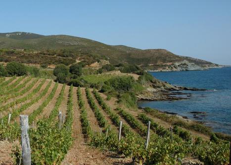Corse : le retour en grâce des cépages autochtones | Winemak-in | Scoop.it