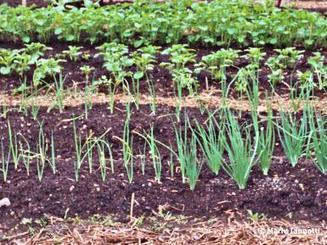 Succession Planting 4 Ways, for More Vegetables | Gardening | Scoop.it