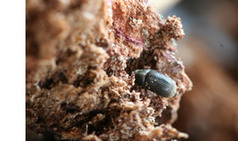 New EPPO Pest Alert: Sakhalin-fir bark beetle | Plant Pests - Global Travellers | Scoop.it