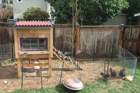 Raising Backyard Chickens for Dummies - Modern Farmer | Sustain Our Earth | Scoop.it