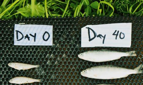 Grow salmon in rice fields? Just add water! | ApocalypseSurvival | Scoop.it