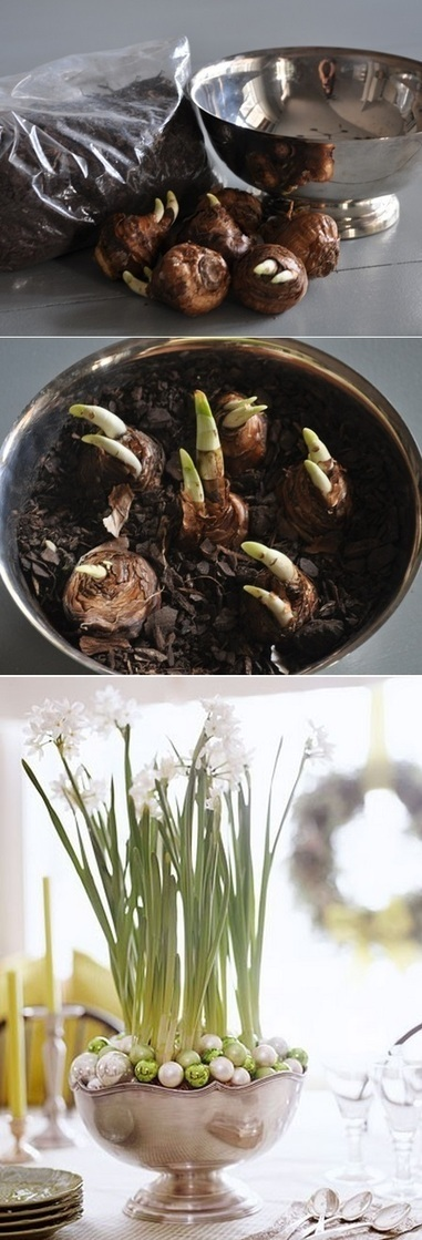 Paper White Bulbs Planting | Backyard Gardening | Scoop.it
