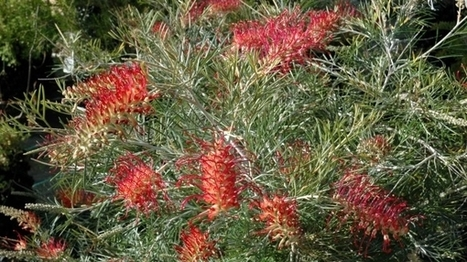 ANZAC grevillea hybrid marks centenary celebrations | Australian Plants on the Web | Scoop.it