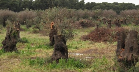 """Major Italian daily """"La Stampa"""" rehashes Xylella noise as scoop 