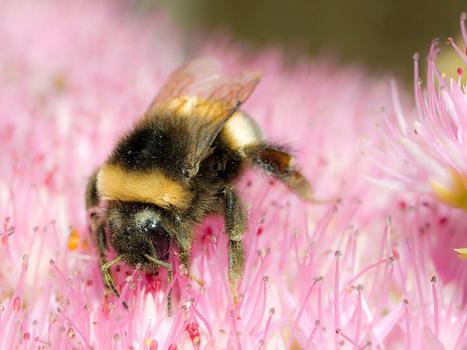 Viruses and Infections in Honeybees Are Endangering Bumblebees | Slash's Science & Technology Scoop | Scoop.it