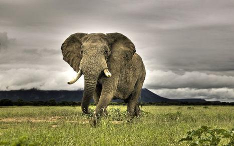 Des éléphants d'Afrique auraient compris comment éviter les braconniers | Biodiversité | Scoop.it