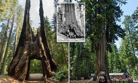 The incredible tunnels carved into TREES wide enough to drive through | La parole de l'arbre | Scoop.it