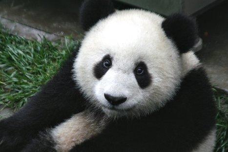 Panda_Cub_from_Wolong,_Sichuan,_China.JPG (1728x1152 pixels) | Les Pandas | Scoop.it