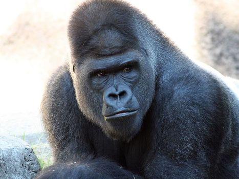 ¿Era malo por naturaleza el gorila sacrificado de Cincinnati? | PerCientEx | Scoop.it