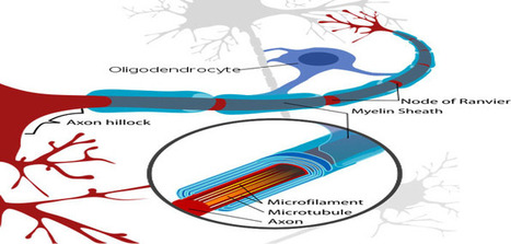Researchers discover new drugs to combat the root cause of multiple sclerosis | Social Neuroscience Advances | Scoop.it