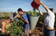 Des vendanges exceptionnellement précoces dans le Roussillon   vin   Scoop.it