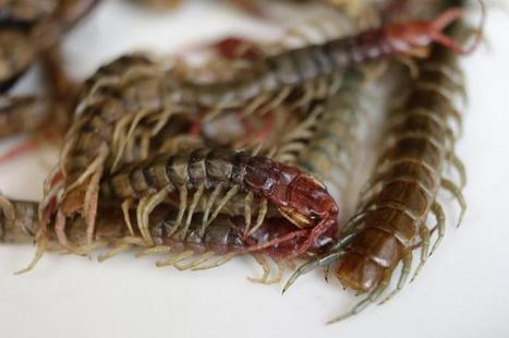 Centipede Genome Yields Surprises: Loss of Light Receptor Genes and Circadian Clock | Amazing Science | Scoop.it