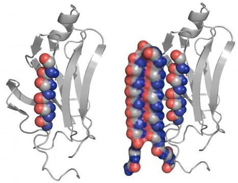 New protein structure could help treat Alzheimer's, related diseases - Medical Xpress | Therapeutic peptide | Scoop.it