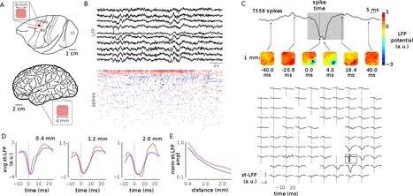 Local field potentials primarily reflect inhibitory neuron activity in human and monkey cortex | Biobit: Computational Neuroscience & Biocomputation | Scoop.it