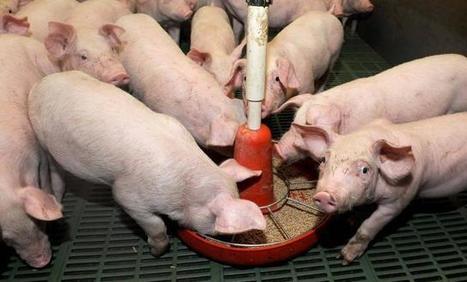 Crise du porc : Bigard et Cooperl boudent la réunion sur la crise de la filière bretonne - Ouest France entreprises | Agriculture en Pays de la Loire | Scoop.it
