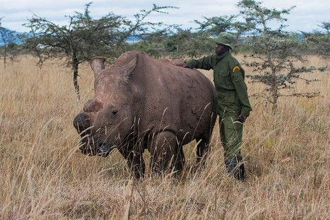 Rarest Rhino Inspires Man To Dedicate His 40th Birthday To Rhinos Everywhere | What's Happening to Africa's Rhino? | Scoop.it