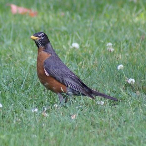 Photo d'oiseau : Merle d'Amérique - Turdus migratorius - American robin   Fauna Free Pics - Public Domain - Photos gratuites d'animaux   Scoop.it