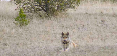 Wildlife: Southwest wolf population tops 100 for first time in modern era | GarryRogers Biosphere News | Scoop.it